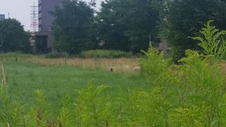 遠いですが、北大の羊@北キャンパスです.jpg