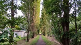 0729朝のポプラ並木.jpg